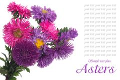Bunch of multi-colored asters isolated Stock Images