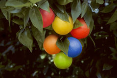 Bunch of multicolored oranges hanging on a tree Royalty Free Stock Images
