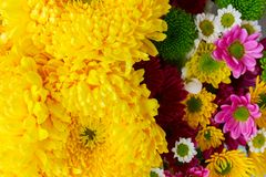 Bunch of mum flowers Royalty Free Stock Image