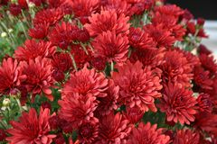 Bunch of mums. Bunch of Red mums Stock Images