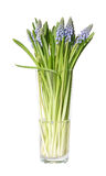 Bunch of muscari in a tall glass Royalty Free Stock Photography