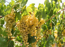 Bunch of muscat grapes sunlit Stock Images