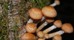 A bunch of mushrooms Armillaria mellea Stock Photography