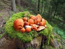 Bunch of mushrooms orange-cap boletus lies on stump with moss. stock photos