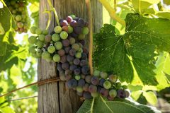 Bunch of Napa California wine grapes changing colors at veraison Stock Photography