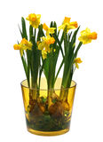 Bunch of narcissus. Bunch of yellow narcissus isolated on white Royalty Free Stock Image