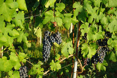 Bunch of Nebbiolo Grapes Stock Image
