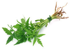 Bunch of neem plant. Over white background Stock Photography