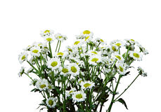 Bunch of nice small Daisies Stock Images