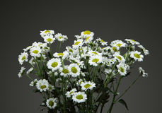 Bunch of nice small Daisies Royalty Free Stock Photos