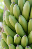 Bunch O Bananas. Closeup of bananas hanging on a tree Stock Photography