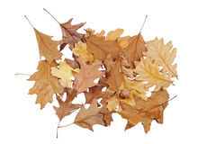 Bunch of oak leaves Royalty Free Stock Image
