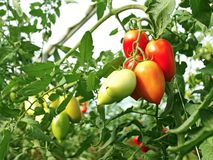 Bunch of oblong red tomatoes Royalty Free Stock Images