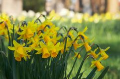 Bunch Of Daffodils Stock Photos
