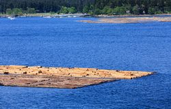 Bunch Of Floating Logs In Nanaimo Stock Image