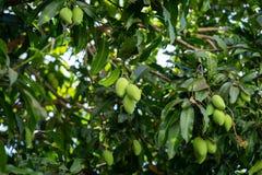 Free Bunch Of Fresh Green Mango On Tree Royalty Free Stock Photo - 173432835