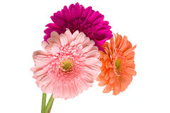 Free Bunch Of Gerberas Royalty Free Stock Photography - 48040527