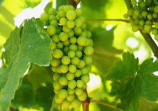 Bunch Of Grapes In A Vineyard Royalty Free Stock Photos