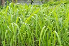 Bunch Of Lemongrass Stock Photo