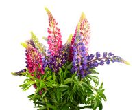 Free Bunch Of Lupine Flowers Royalty Free Stock Photography - 116967497