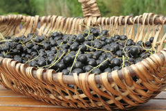 Bunch Of Ripe Black Currants Stock Photo