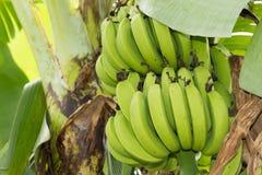 Free Bunch Of Ripening Bananas Royalty Free Stock Photo - 34318155