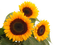 Free Bunch Of Sunflowers Stock Images - 2994244