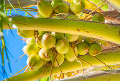 Free Bunch Of The Young Coconuts Stock Images - 28293524