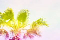 Free Bunch Of Tropical Palm Leaves On Branch Without Fruits. Pollution Free Nature Concept. Banana Republic Background. Royalty Free Stock Photography - 126414767