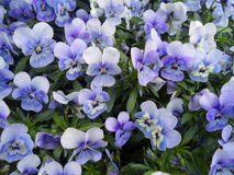Free Bunch Of Violet Pansy, Viola Flowers Blooming In Spring Of The Netherlands Royalty Free Stock Photography - 89025107