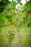 Bunch Of White Wine Grapes Stock Photo