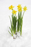 Bunch Of Yellow Spring Daffodils Stock Photos