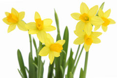 Bunch Of Yellow Spring Daffodils Royalty Free Stock Images