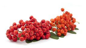 Bunch ofred rowan Royalty Free Stock Photo