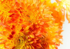 Bunch of orange chrysanthemums Stock Image