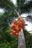 Bunch of orange color palm fruits Stock Photos