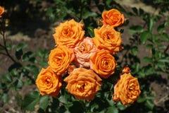 Bunch of orange flowers of rose. In June stock photo