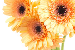 Bunch of orange gerbera daisies Stock Photo