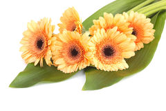 Bunch of orange gerbera daisies Royalty Free Stock Photos