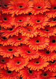 Bunch of orange Gerberas. On display on Flower market in Amsterdam Royalty Free Stock Photo