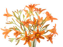 Bunch of orange Lilly Royalty Free Stock Image