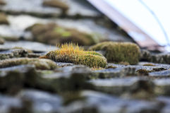 Bunch of orange moss on the tiled country roof Royalty Free Stock Photos