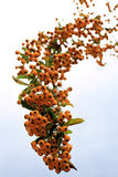 Bunch of orange ripe berries Royalty Free Stock Image
