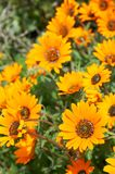Bunch of orange wild flowers. In the field Stock Photos