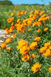 Bunch of orange wild flowers. In the field Royalty Free Stock Photo