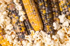 Bunch of organic dried multicolored corn on the cob with already popped popcorn Stock Photo