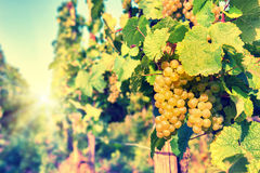 Bunch of organic grape on vine branch. Wine making concept Stock Images