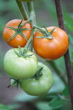 Bunch of organic tomatoes in the garden. Stock Images