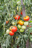 Bunch of organic tomatoes in the garden Royalty Free Stock Photos
