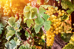 Bunch of organic white grape on vine branch Stock Images